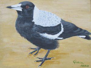 Australia magpie