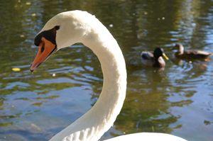 Swan Lake - Art by Samantha