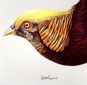 Golden Pheasant - Rlon