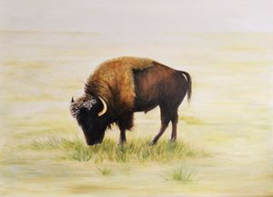 Bison grazing