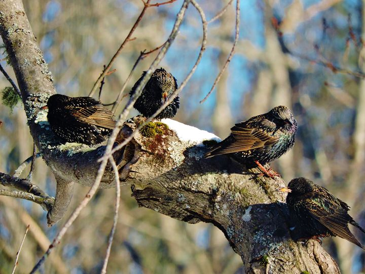 Four Beautiful European Starlings - Liv Carrington Photography