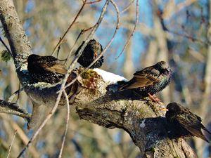 Four Beautiful European Starlings