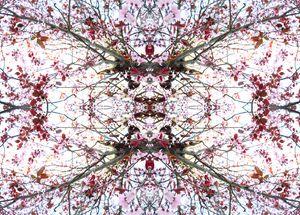 Cherry Blossoms 4