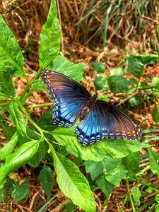 Opaline Blue Butterfly