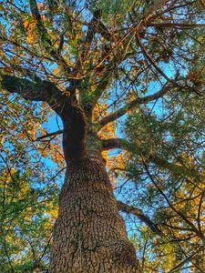 Ozark Oak Tree