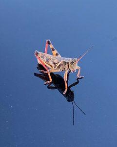 Traveling Grasshopper