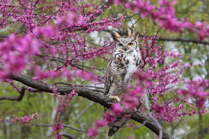 Spring Owl - Lisa Willey Photography