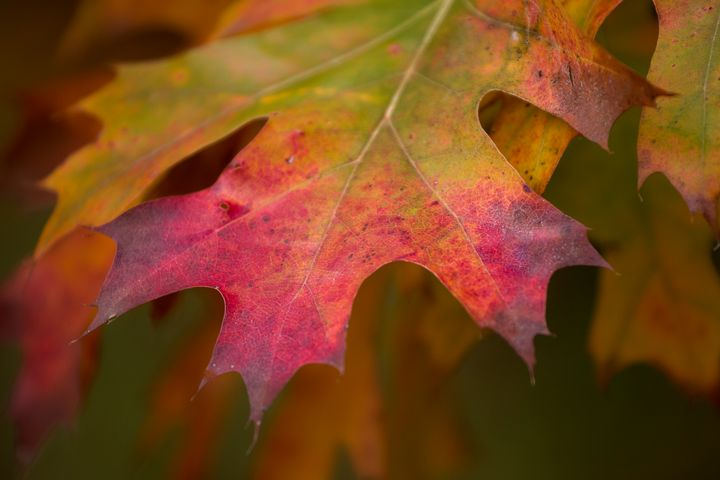 Fall Leaf - Lisa Willey Photography