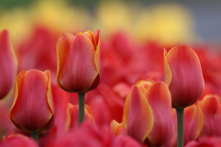 Tulips - Lisa Willey Photography