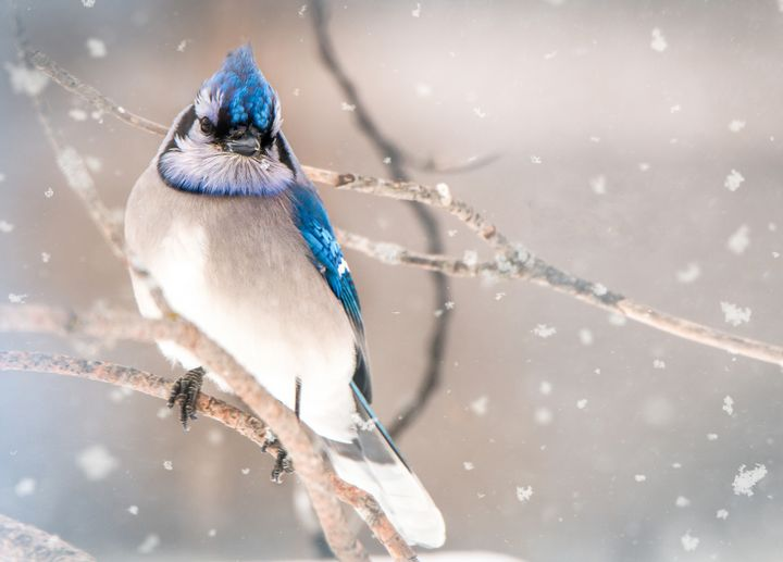 Blustery Blue Jay - Lisa Willey Photography