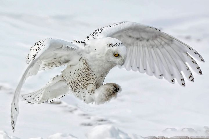 Snowy Owl - Lisa Willey Photography