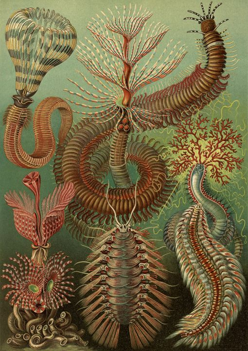 Spined marine worms by Ernst Haeckel - Liszt Collection