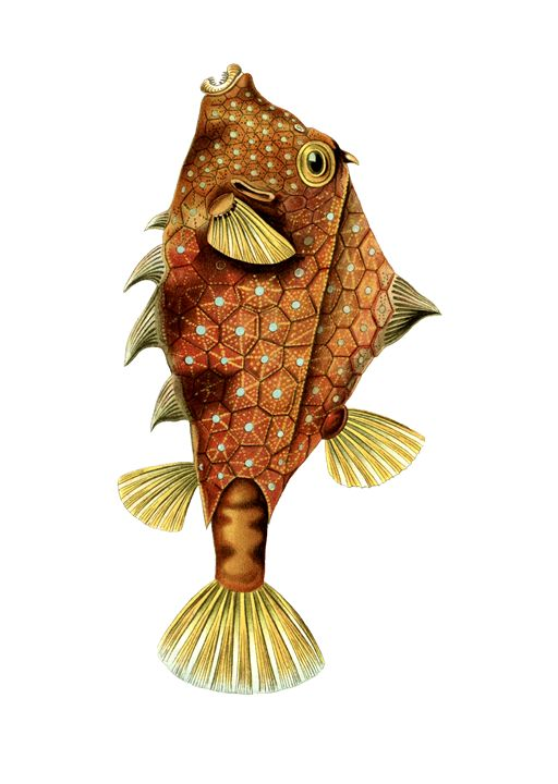 Boxfish, fish by Ernst Haeckel - Liszt Collection