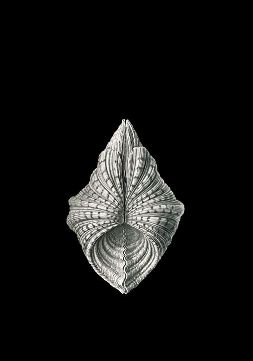 mollusk mussel by Ernst Haeckel - Liszt Collection