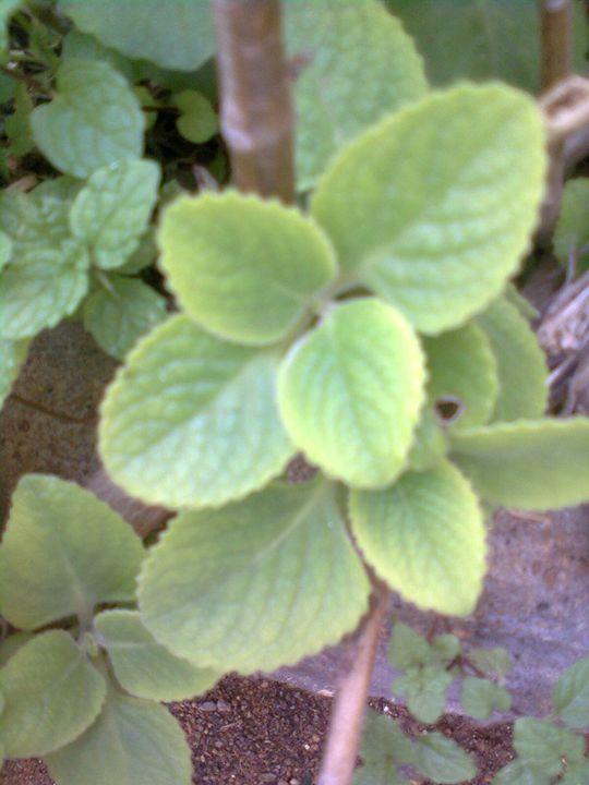 green leaves - Rose
