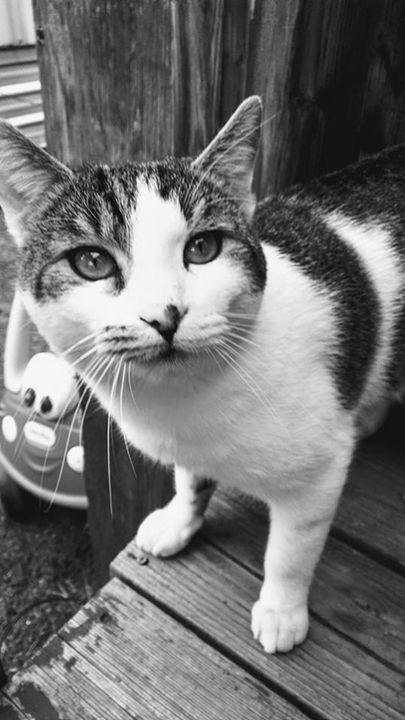 Calico Cat - TParnell