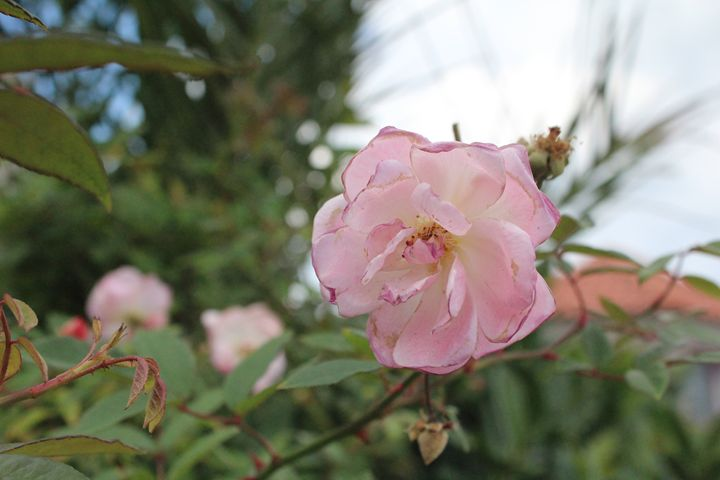 A winter rose. - Rowan's