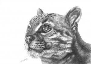 Wild Cat Pencil Drawing - CJCoates