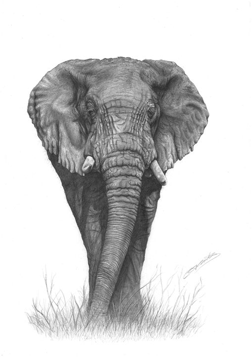 African Elephant - CJCoates