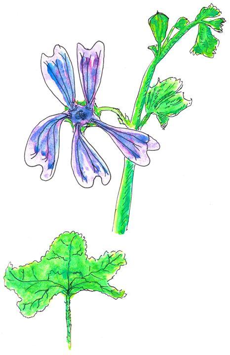Malva neglecta Watercolor Illustrati - Darkvine Art
