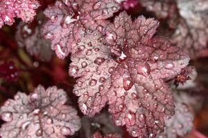 Rain Splattered Plum Leaf