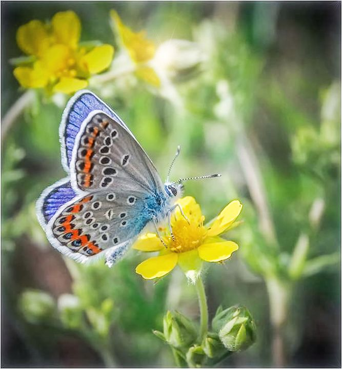 EASTERN BLUE Butterfly - Peggy Franz Photography
