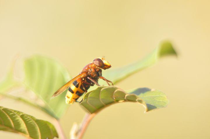 Imposter fly - Somezo Art