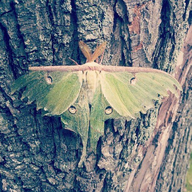 Luna Moth - As is Printshop