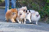 Rainier Pomeranians