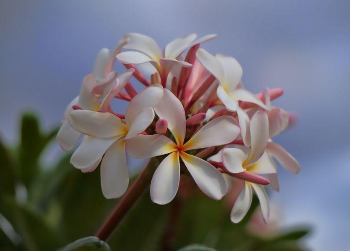 White Plumeria - Photography by Pamela