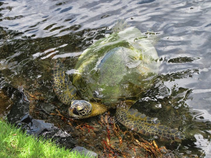 Honu Looking for Lunch - Photography by Pamela