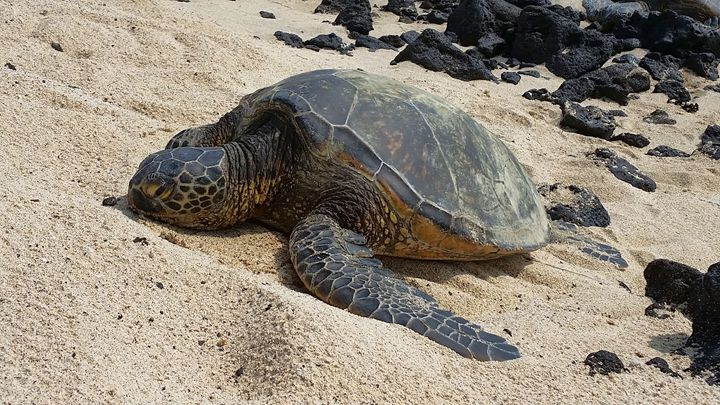 Lounging Honu - Photography by Pamela