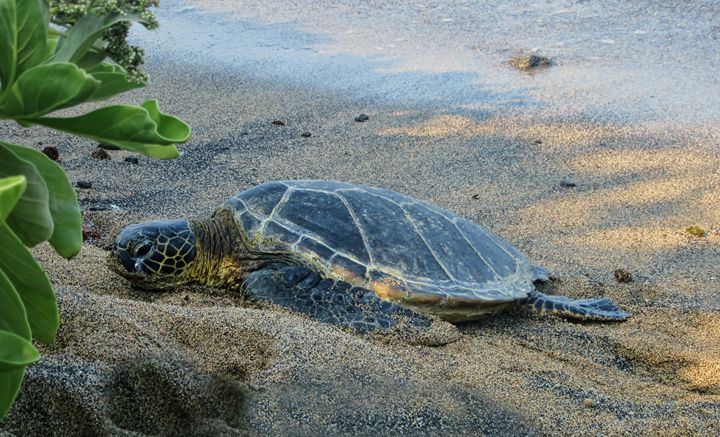 Honu Finding Shade - Photography by Pamela