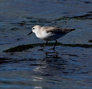 Sanderling in the Water
