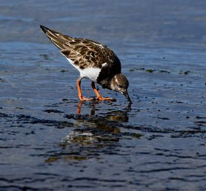 Ruddy Turnstone looking for Food