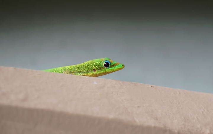 Hiding Gecko - Photography by Pamela