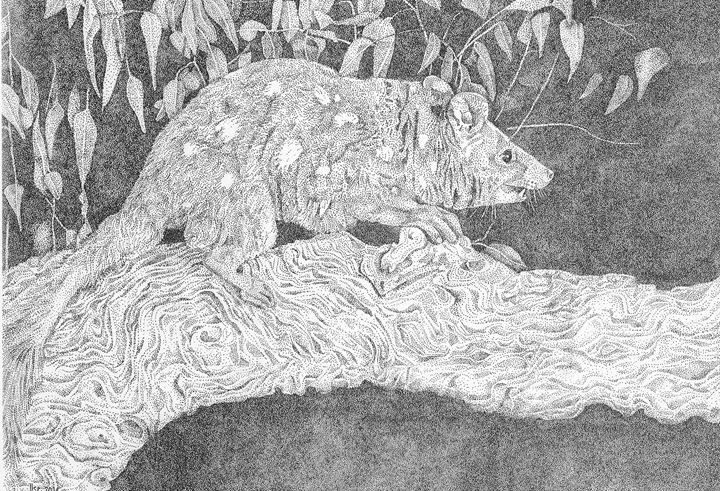 Quoll - Colour and Quill