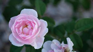 Delicate Pink Rose in Full Bloom