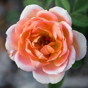 Peach-colored rose in full bloom