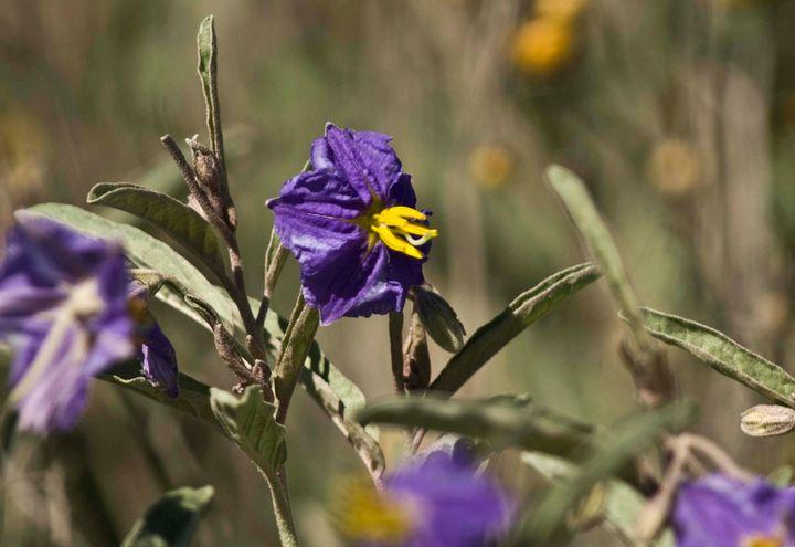 purple flower - Evripidou M