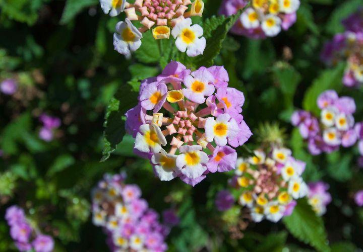 lantana camara flower bush - Evripidou M