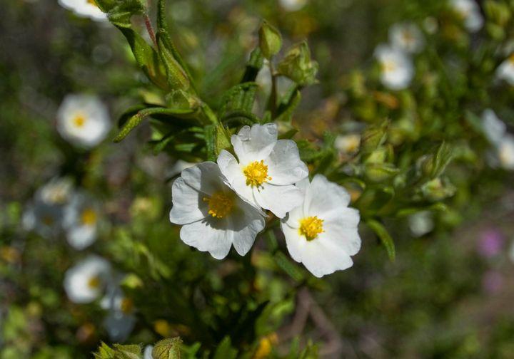 white flowers - Evripidou M