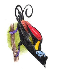 bird of paradise drawing - Evripidou M