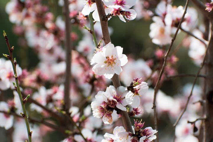 White flowers of spring tree - Kristin Greenwood
