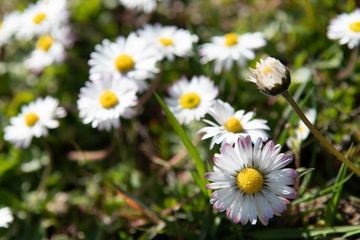 Beautiful daisy flower photo - Kristin Greenwood