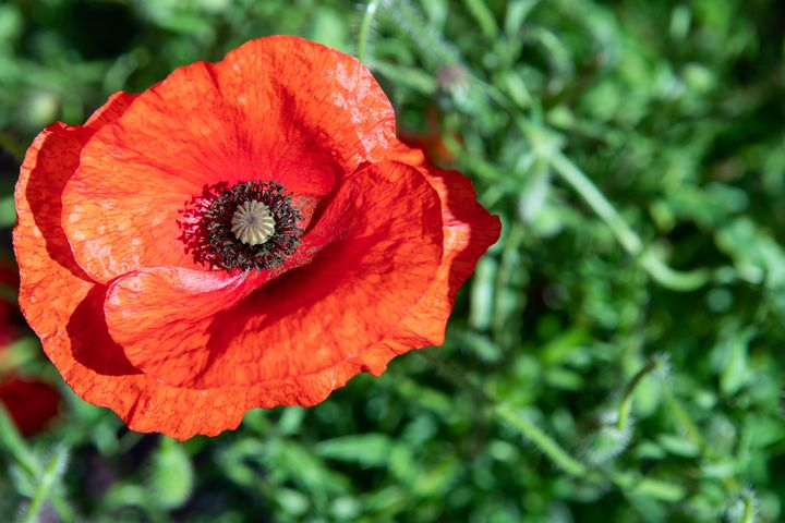 Red poppy flower photo - Kristin Greenwood