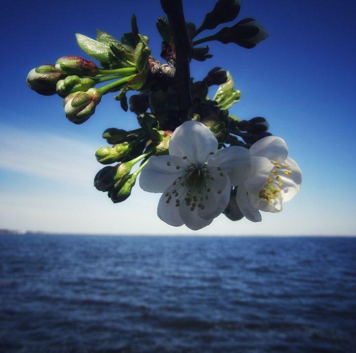 Cherry blossoms - Antonina