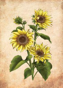 Vintage sunflower illustration