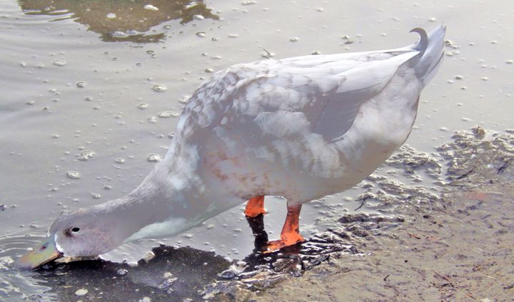 White Duck Drinking - lovely soul
