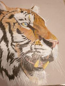 Tiger face in Colour pencil